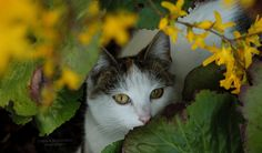 Ofelia. by panna-poziomka #kociaferajna #photography #kitty #spring #nature #animals #flowers #cateyes #pannapoziomkaphotography