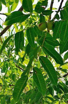 ořešák královský Natural Medicine, Plant Leaves, Flora, Nature, Plants, Fitness, Diet, Naturaleza, Plant