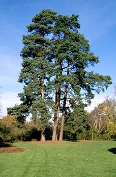 Pinus sylvestris Scots pine P. sylvestris is a large evergreen tree to 25m, with the upper trunk and branches orange-brown, developing a picturesque, irregular outline with maturity. Twisted grey-green needles are borne in pairs. Cones 5cm in length