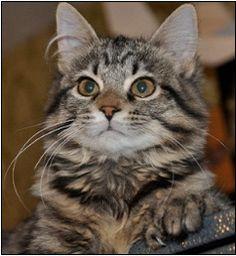 30 Best Desert Lynx Kittens And Cats Images Cats Lynx Kitten Deserts