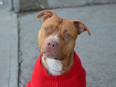 PUMPKIN aka ROCCO - A1058719 - - Brooklyn  TO BE DESTROYED 12/04/15  Pumpkin/Rocco is such a fun guy. At only a year old, he is very much a puppy -energetic and playful. He allows all handling and even dresses up for photos! Just imagine what fun you can have dressing him for the holidays. Problem is Pumpkin/Rocco does not have a home for the holidays. His former owner dumped him in the shelter due to personal problems and now sweet Pumpkin/Rocco sits sadly in a cage, all a