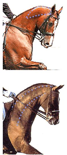 You can tell a lot about how correct a horse's frame by the topline muscles in the neck for they tell the story. See the area of bulging muscle at the top of the neck behind the poll in the top photo? Horse is in a false frame being pulled together from front to back. The horse below is in a correct and humane frame, using his neck muscles properly. Lift, give and allow with your hands. Although the hand in the lower photo are still a bit too heavy for my taste.