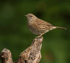 Dunnock by Astrid  Stokvis on 500px