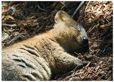 Quokkas are even happy when they sleep!