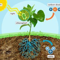 Photosynthesis :: interactive diagram with Interactive lesson/www.pbs.org
