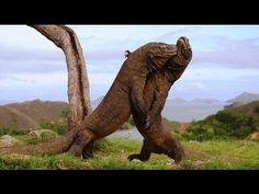 Video Pertarungan Komodo Pertarungan dua komodo jantan paling seru & menegangkan seperti di film Jurasic Park