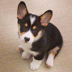 "Tri Color Corgi Puppy Moose the Corgi Instagram  ""Thank you everybody for helping me reach 1000 followers!!!! I really appreciate it! Much love to you all! Fun Fact: My name is Moose for the colors in…"""