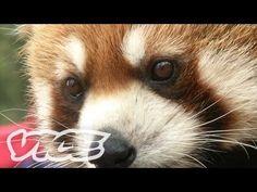レッサー・パンダ! - Cute Red Pandas! - YouTube