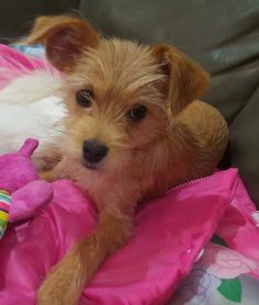 Mitzy LB CP is an adoptable Yorkshire Terrier Yorkie searching for a forever family near Providence, RI. Use Petfinder to find adoptable pets in your area.