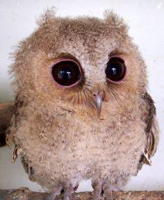 Baby Scops Owl III - cutestpaw.com