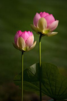 lotus   Yen Huynh