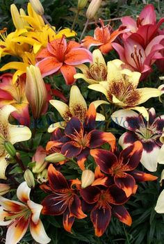 Lelie Asiatic Bi-colour Gemengd - Dutch Garden World