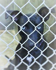 Gorgeous blue eyes!!  ********OWNER SURRENDER****URGENT***** Lab mix female 1-2 years old  Kennel A34 Available NOW ****$51 to adopt  Located at Odessa, Texas Animal Control. 432-368-3527