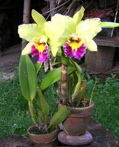 Cattleya Orchid Orchid care tips  https://www.houseplant411.com/houseplant/orchids-how-to-grow-care