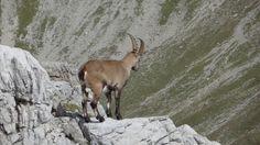 """Presse: """"Steinböcke in den Bayerischen Alpen   Bild: BR; Georg Bayerle"""""""