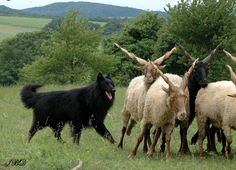 Hungarian Racka Sheep have horns that differ from other sheep.