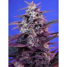 Bloody Skunk es una nueva variedad de semillas de marihuana autoflorecientes que destaca por su gran cantidad de cogollos, compactos y rojos. La cosecha está lista en 8 semanas.