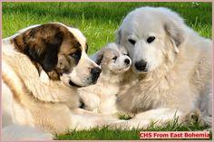 Mountain Dogs, Labrador Retriever, Animals, Labrador Retrievers, Animales, Animaux, Animal, Animais, Labrador