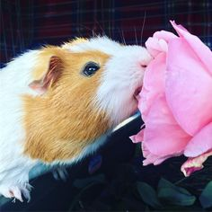 "29 Likes, 1 Comments - Stitch (@stitch_the_guinea_pig) on Instagram: "" #throwbackthursday does a rose by any other name taste as sweet?  #guineapigsofaustralia…"""