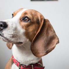 Eliminate Over 30+ Common Behavioral Beagle Issues - Beagle #beagle