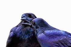 "Ravens show empathy for each other. Despite their mischievous nature, ravens seem capable of feeling empathy. When a raven's friend loses in a fight, they will seem to console the losing bird. They also remember birds they like and will respond in a friendly way to certain birds for at least three years after seeing them. (They also respond negatively to enemies and suspiciously to strange ravens.) Although a flock of ravens is called an ""unkindness,"" the birds appear to be anything but."