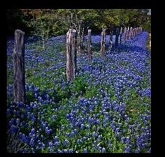 I love Texas blue bonnets