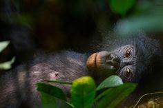 Los Bonobos, junto con los chimpancés, son nuestros parientes más cercanos. También se encuentran entre los primates menos estudiados. Autor...