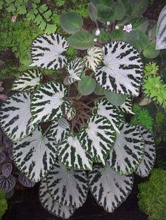 Unknown Begonia