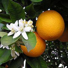 Narancslekvár: az egyik legfinomabb lekvár. Többféle módon készülhet. Ez egyszerű recept. Készítsd el és nyáron is élvezheted a finom narancsízt.