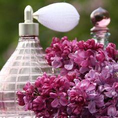 Flieder Syringa vulgaris 'Prince Wolkonsky' - Magentarote Flieder - Flieder-Premium Fliedertraum