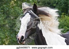 """Gypsy horse portrait""- Horse Stock Photo from Gograph.com Gypsy Horse, Horse Portrait, Horse Photos, Art Images, Portrait Photography, Clip Art, Horses, Stock Photos, Illustration"