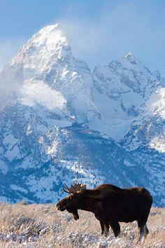 Bull Moose standing below the Grand Teton in Jackson Hole, Wyoming.