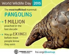 Pangolins. They're going to be extinct before most people know they exist.