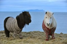 Shetland ponies in cardigans. Also known as the best advertising campaign ever, Scotland.