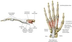 The term dorsal digital expansion refers to the small triangular aponeurosis covering the dorsum of the proximal phalanx with its base at the metacarpophalangeal joint. The main tendon of the extensor digitorum occupies the central part of the expansion and is separated from the metacarpophalangeal joint by a bursa. [Aponeurosis is a flat sheet or […] The post Dorsal Digital Expansion or Extensor Expansion appeared first on Bone and Spine.