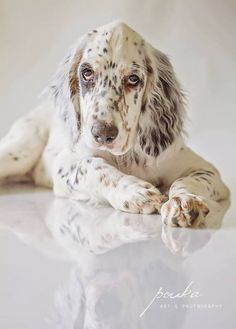 English Setter. Check more at http://hrenoten.com