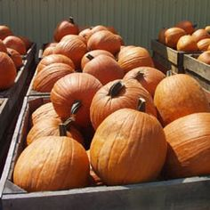 Powdery Mildew Tolerant Hybrid Pumpkin