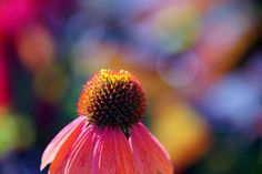 https://flic.kr/p/zqTpAn | エキナケア・プルプレア/Echinacea purpurea | 20151003-DSC09446   エキナケア・プルプレア (紫馬簾菊)/Echinacea purpurea キク科エキナケア属の多年草。英名 Purple coneflower英名  Purple coneflower 京都府立植物園/Photo was taken in The Kyoto Botanical Garden