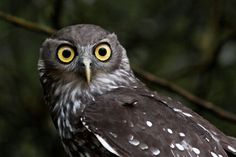 The Barking Owl (Ninox connivens), also known as the Barking Boobook or Winking Owl, is a nocturnal bird species native to mainland Australia and parts of Papua New Guinea and the Moluccas.