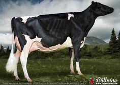 """Why are dairy cows skinny?"" Great informative article for people with questions about dairy cows."