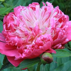 Herbaceous Peony Bloom Sequence