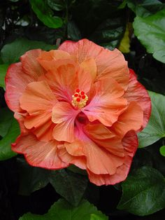 Hibiscus 'Copper Rose'