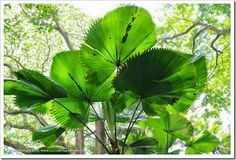 Fiji Fan Palm (Pritchardia pacifica) www.succulentsandmore.com
