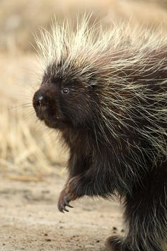 Porcupine  | Every birthday Gigeo greeting you send from http://WhoLovesYou.ME helps animals world wide. | LIKE us on http://www.facebook.com/BirthdayGigeo and help protect the world's wildlife. | #animalphotos #IFAW