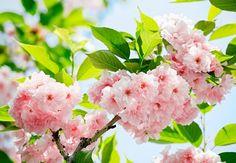 Fotomural Wizard Genius Sakura Blossom 133, imagen de flores de cerezo japonés, también conocidas como flores de Sakura en tonos rosados y acompañadas por el verde de las hojas.