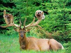 Raccoons in deer antlers--- hitchhikers!