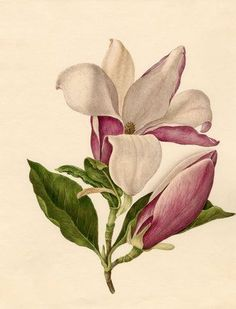 Magnolia officinalis