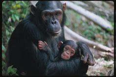 Chimpanzees, absolutely LOVE them....could watch these guys for hours