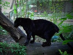 Black Panthers...