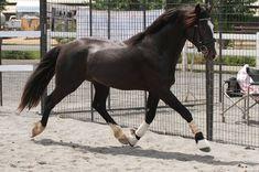 Connemara Stallion R Blue Moon Connemara Pony, Horse Breeds, Thoroughbred, Blue Moon, Dressage, Beautiful Creatures, Equestrian, Horses, Horse Stuff